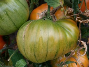 They are green and red when ripe